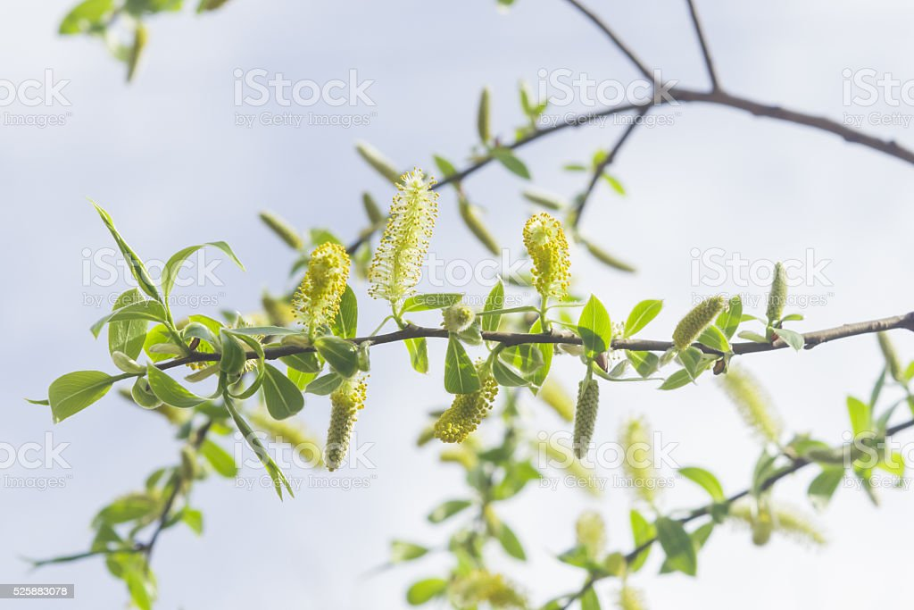 Brittle willow, Salix fragilis, blossom in spring with bokeh background stock photo