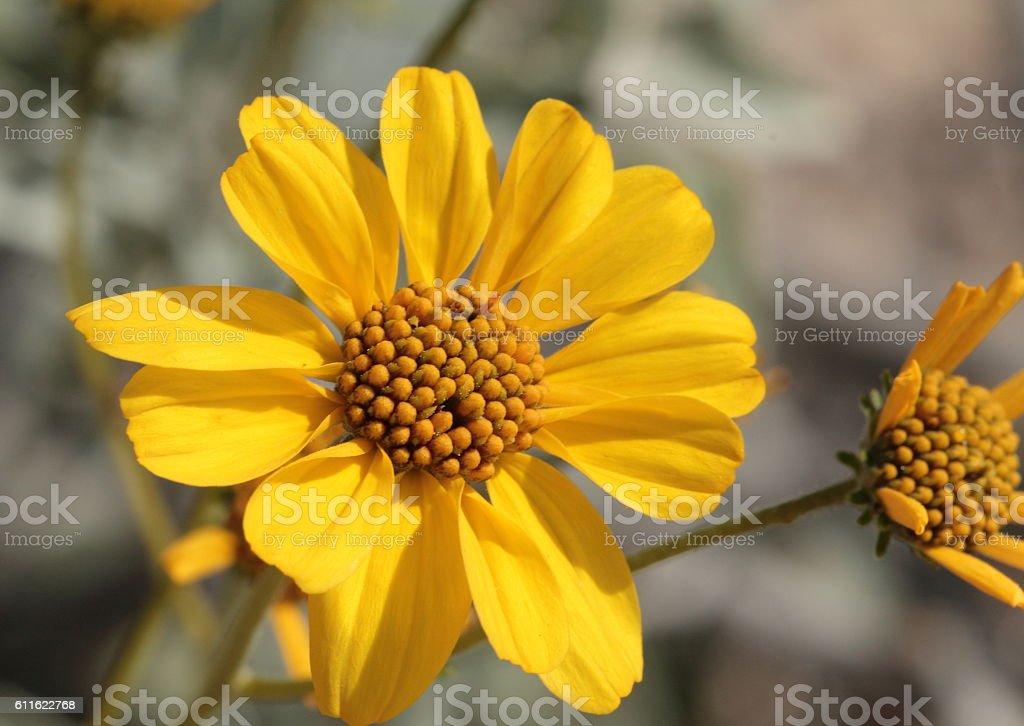 brittlebush flower stock photo