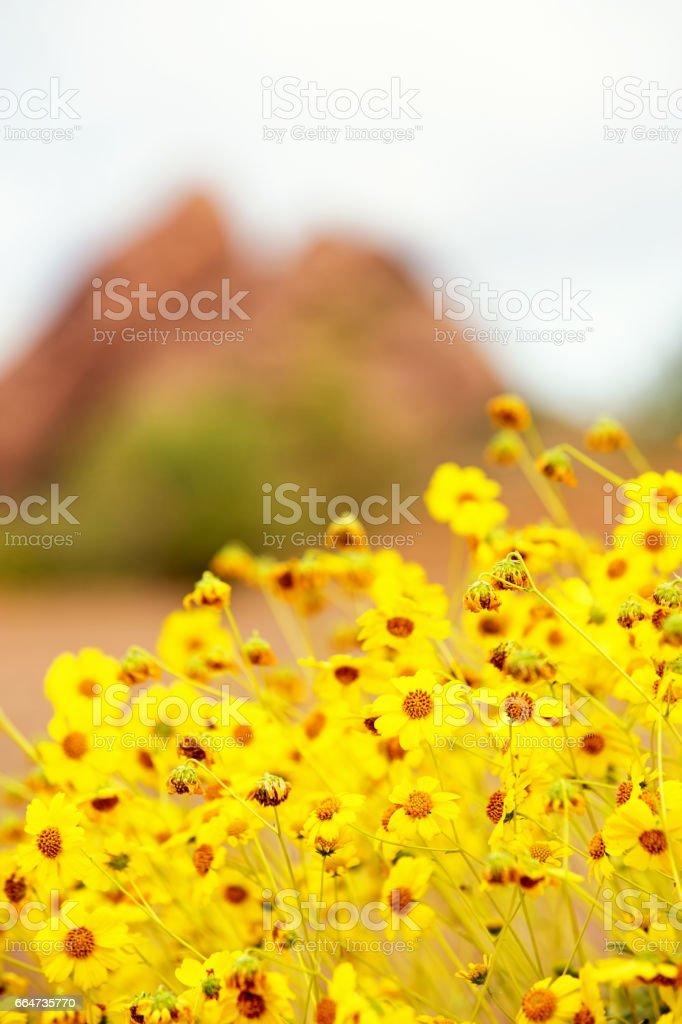 Brittlebush in Arizona Desert - Selective Focus stock photo