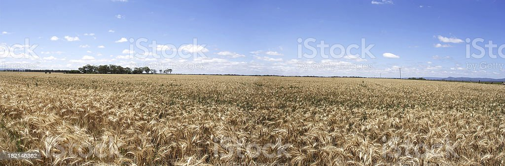 broad acre wheat panorama royalty-free stock photo