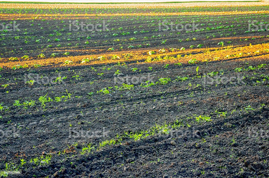 Broad bean field royalty-free stock photo