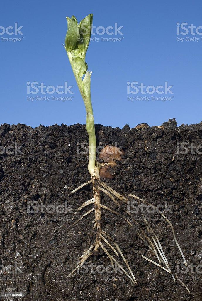 broad bean growth royalty-free stock photo