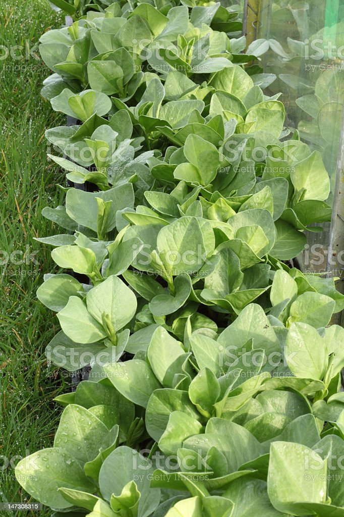 Broad bean plants royalty-free stock photo