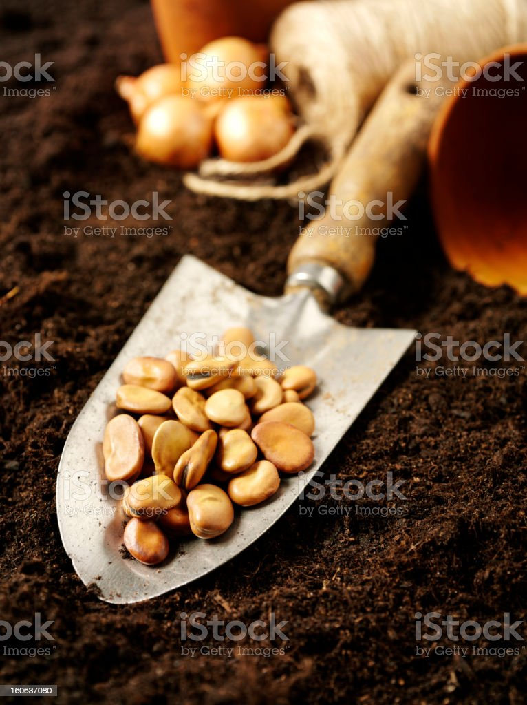 Broad Bean Seeds in a Trowel royalty-free stock photo