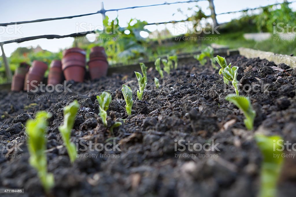 Broad Bean Shoots in Veg Garden royalty-free stock photo