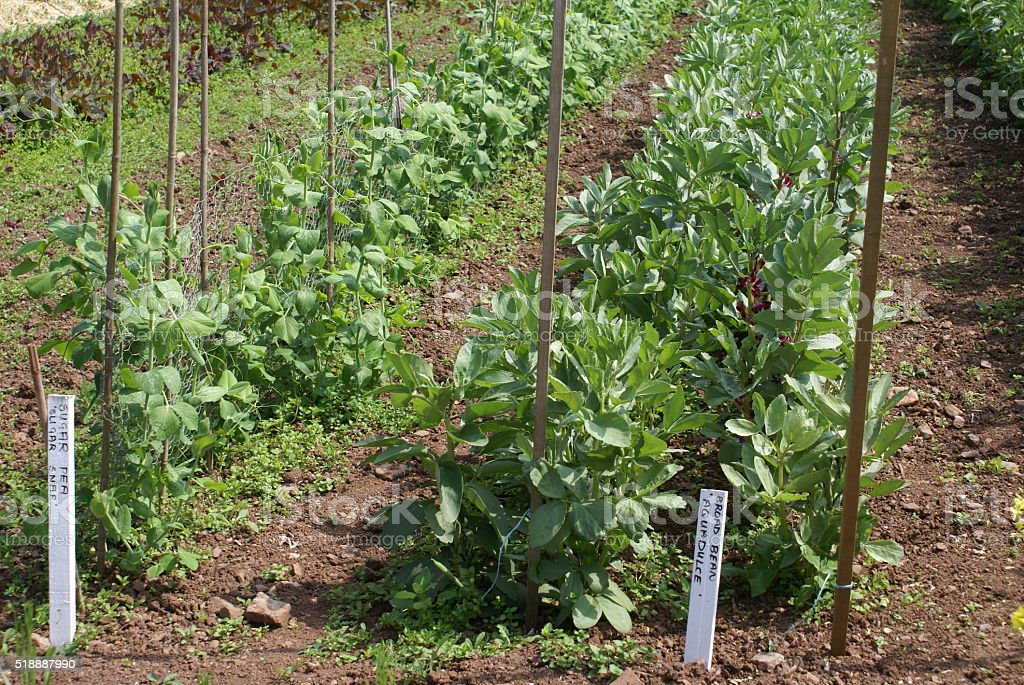 broad beans and pea plants stock photo