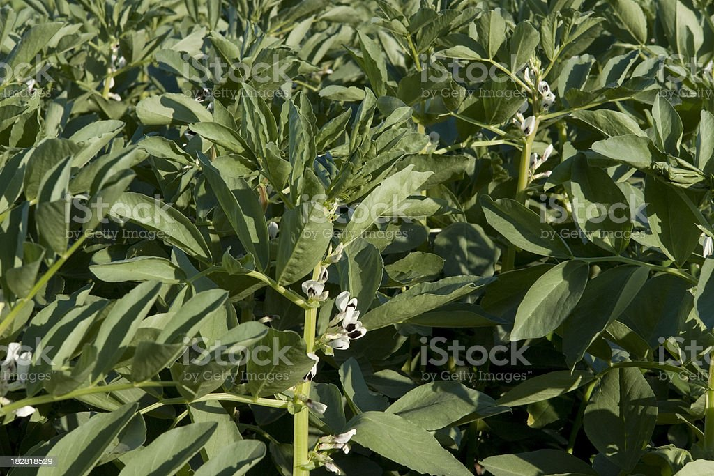 Broad beans cultivation stock photo