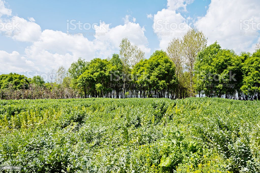 Broad beans field stock photo