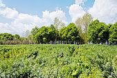 Broad beans field