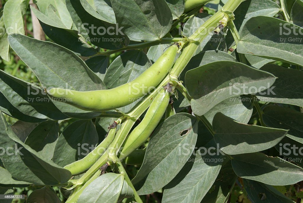 Broad Beans growing on a plant stock photo