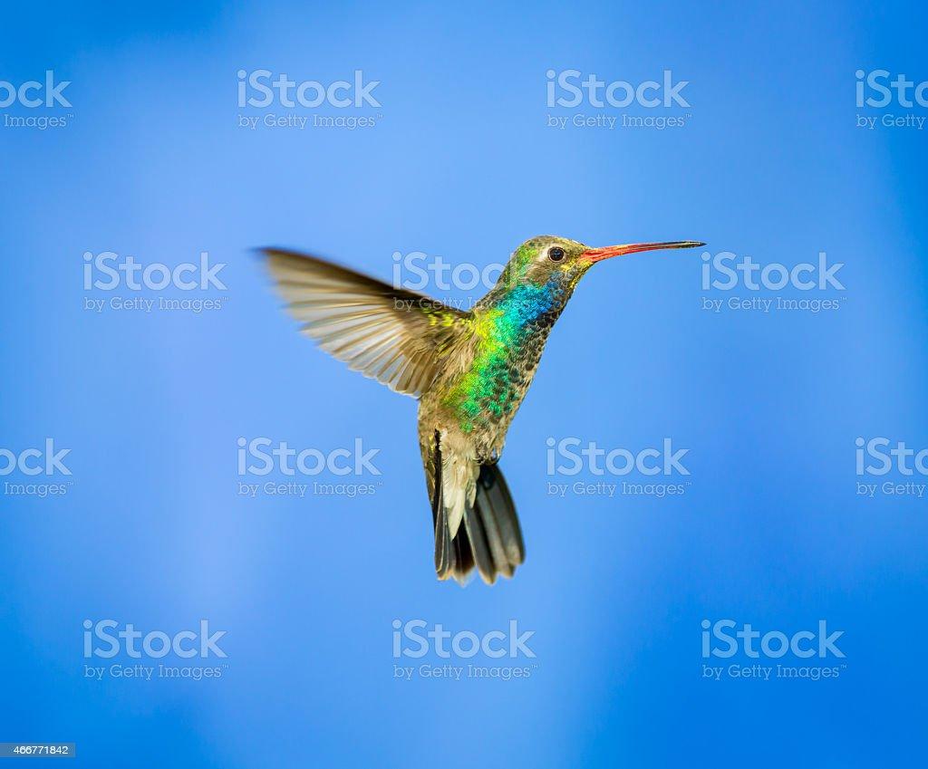 Broad Billed Hummingbird. stock photo