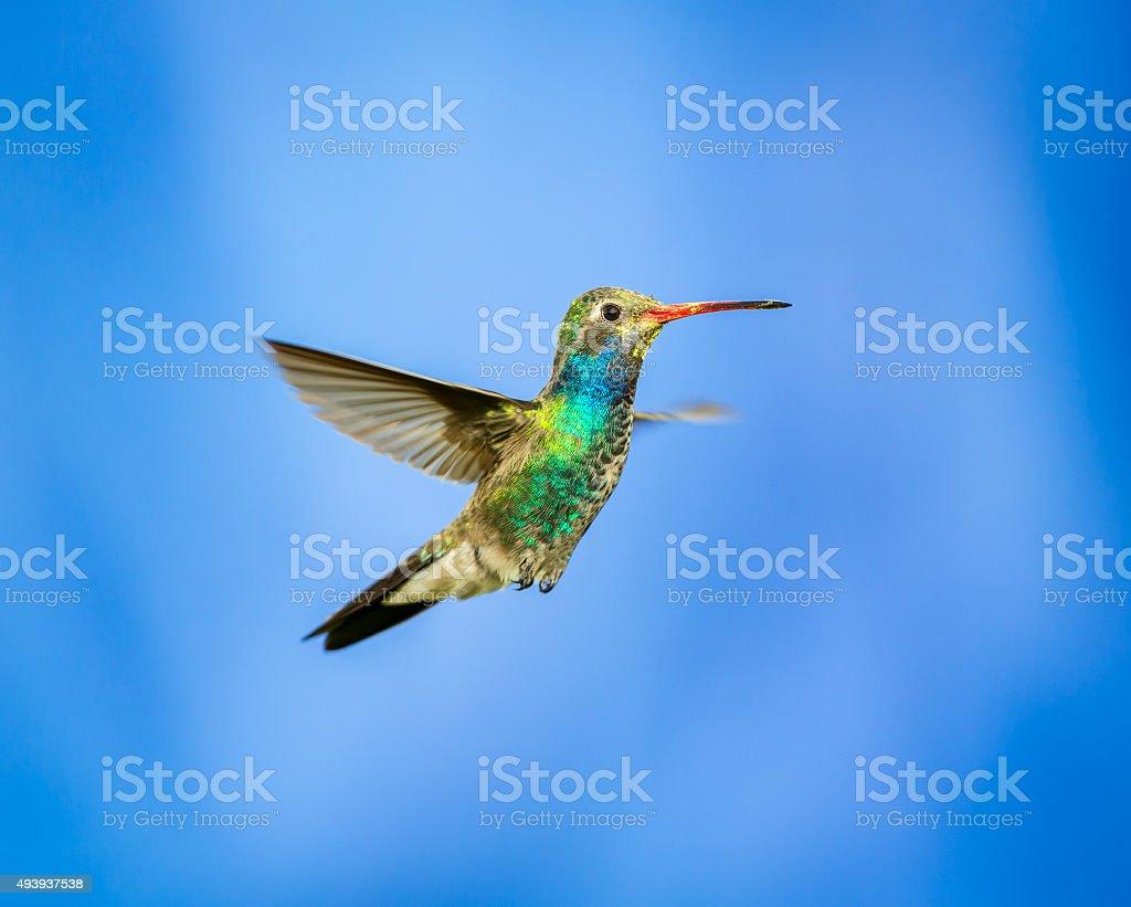 Broad billed Hummingbird stock photo