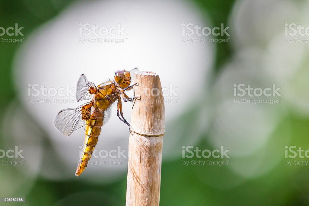 Broad bodied chaser (Libellula depressa) stock photo