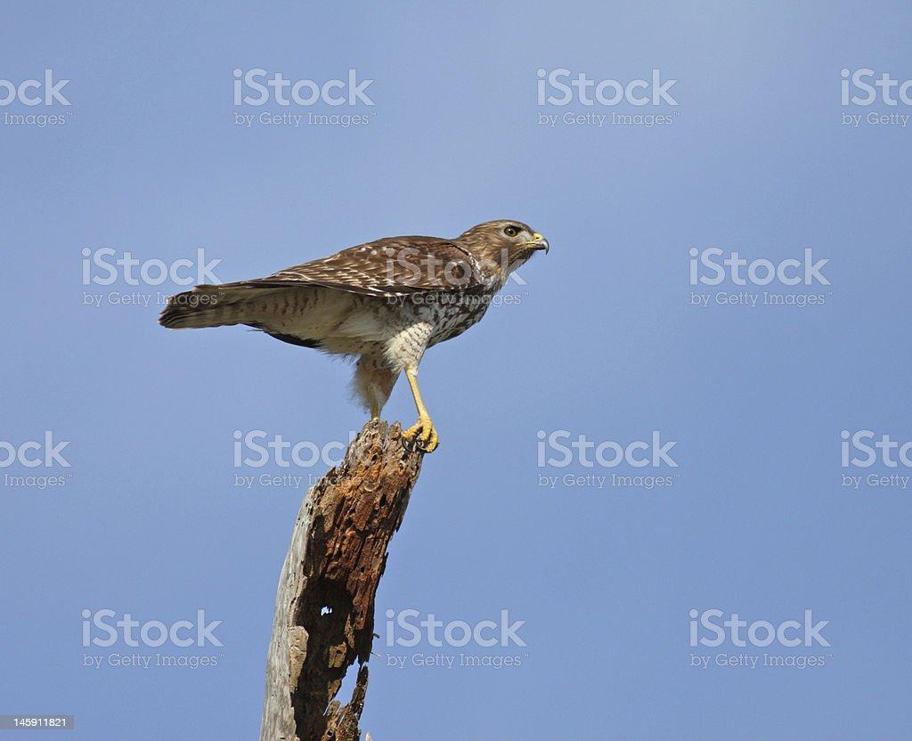 Broad Wing Hawk stock photo