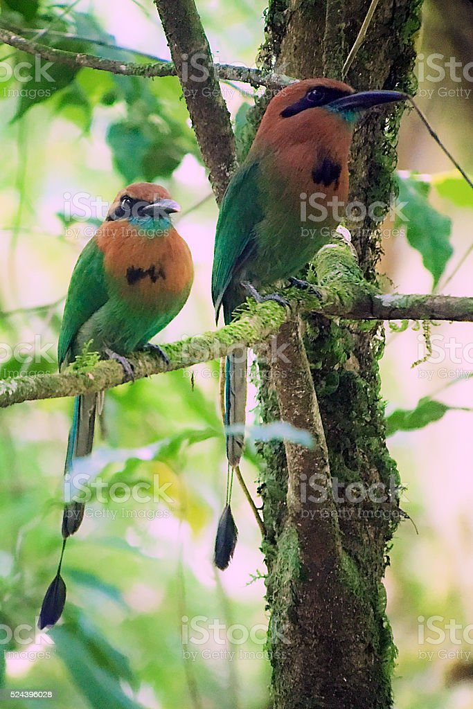 broad-billed motmots, Electron platyrhynchum, in tree in forest stock photo