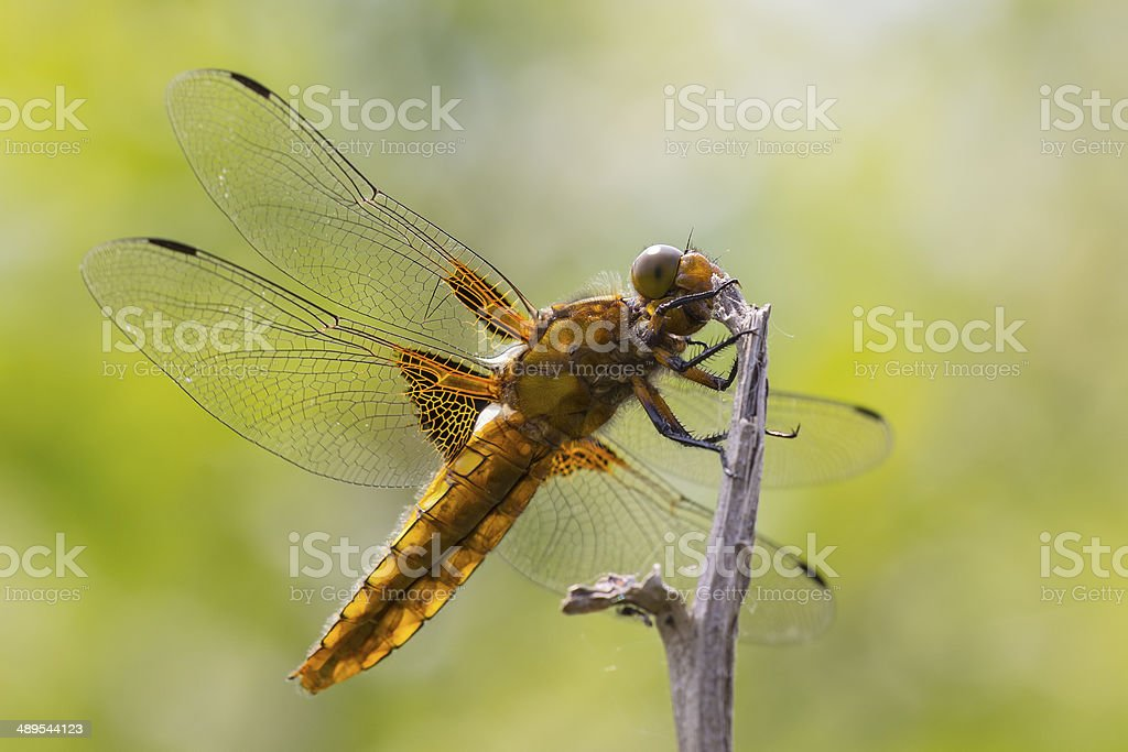 Broad-bodied Chaser royalty-free stock photo