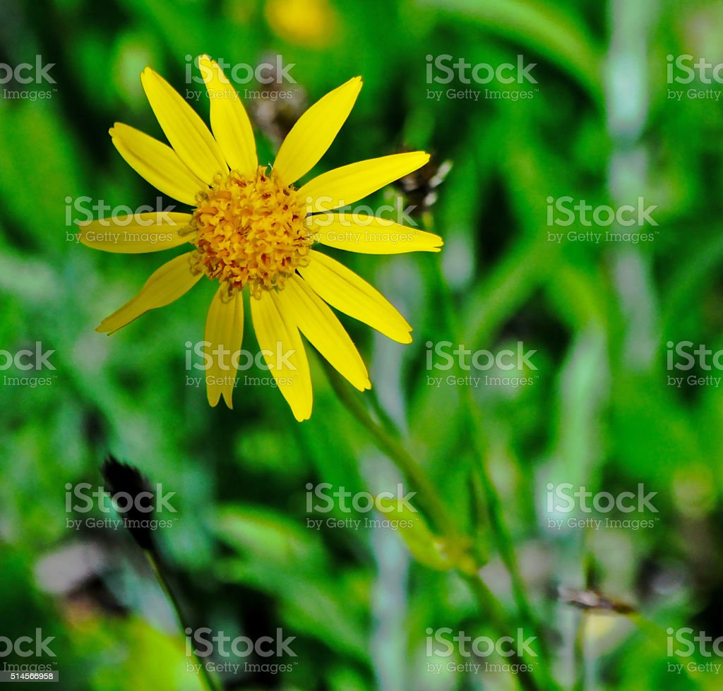Broadleaf Arnica (Arnica latifolia) stock photo