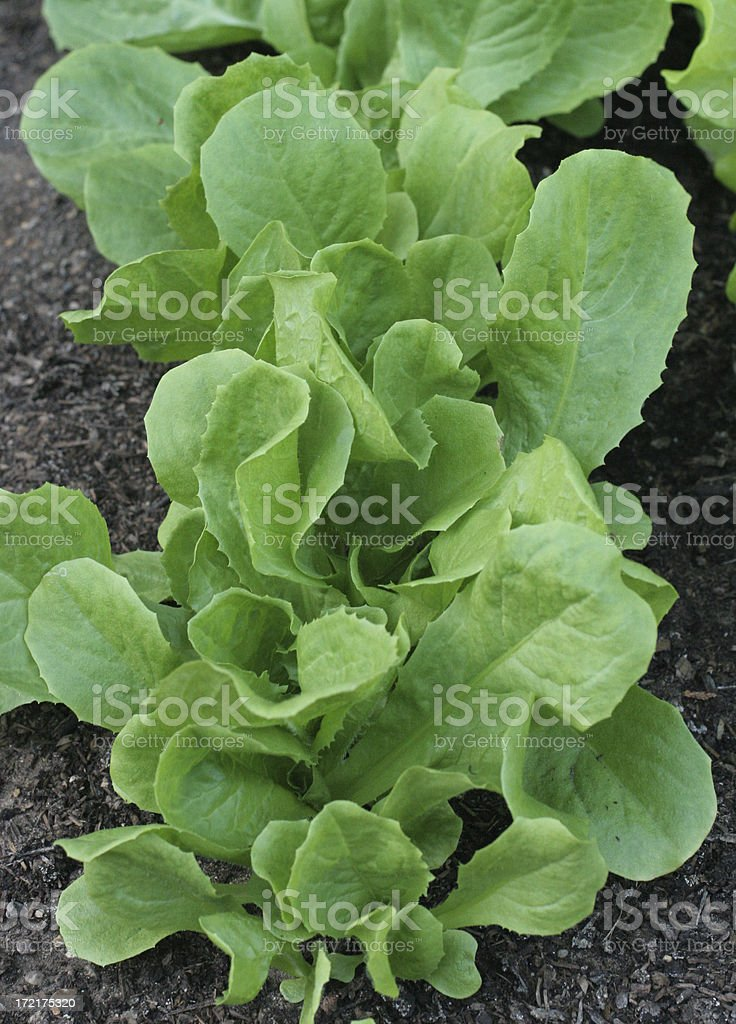 broadleaf batavian endive lettuce royalty-free stock photo