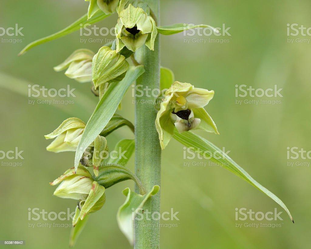 Broad-leaved helleborine (Epipactis helleborine) close up of flowers stock photo