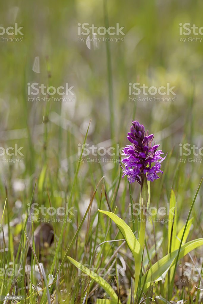 Broad-leaved Marsh Orchid (Dacttylorhiza majalis) royalty-free stock photo