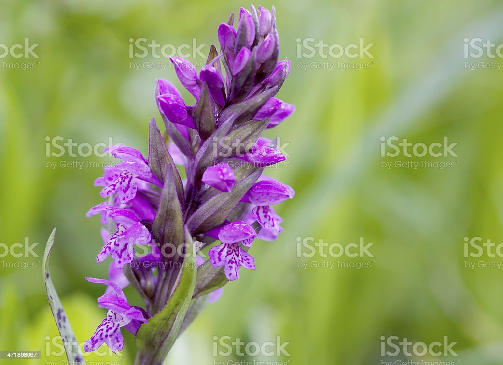 Broad-leaved Marsh Orchid (Dacttylorhiza majalis) royalty-free stock photo