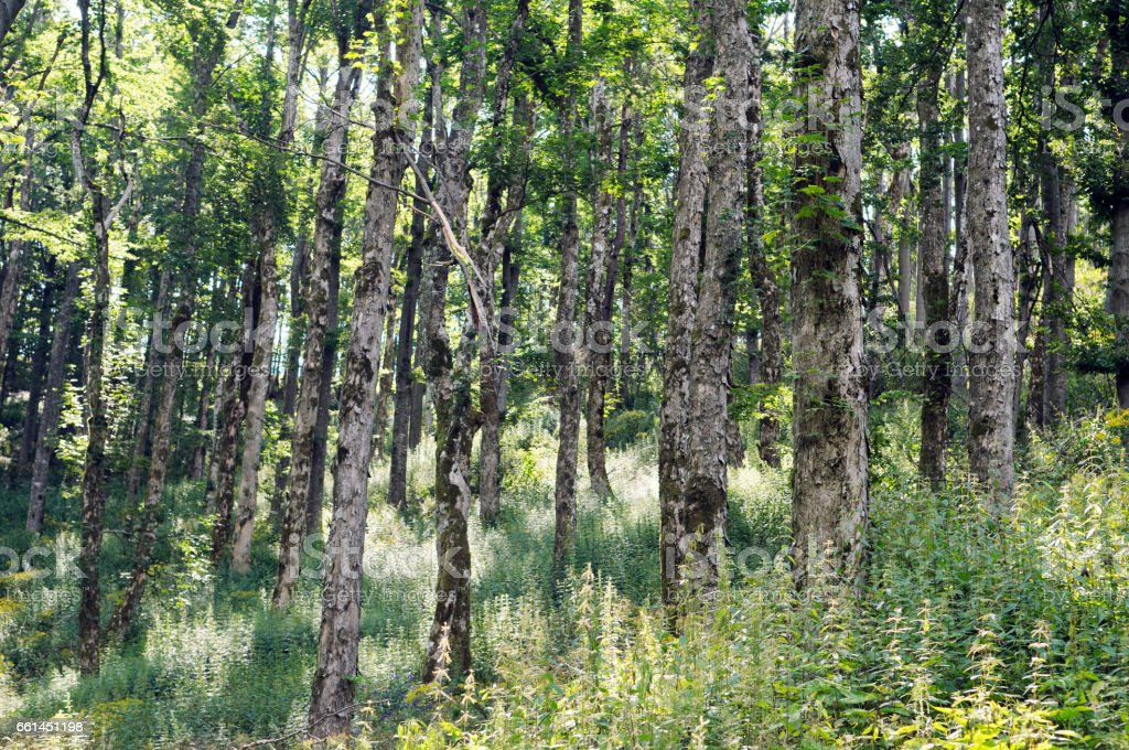 Broad-leaved ravine forest stock photo
