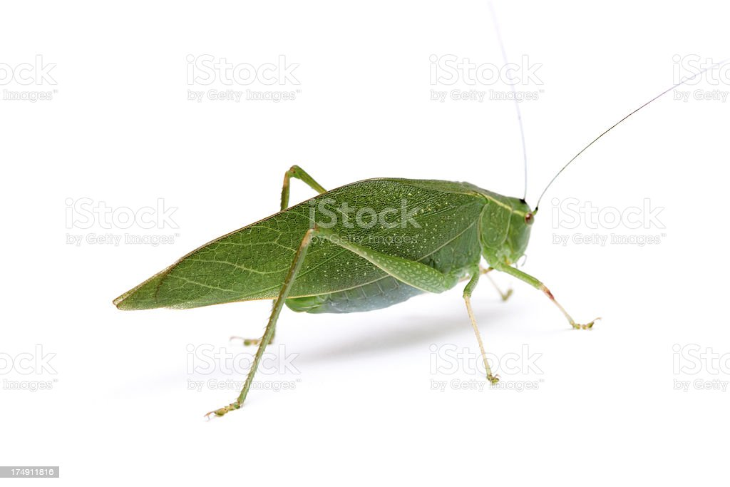 Broad-winged Katydid - Insect Mimicry stock photo