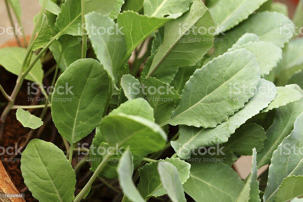 Broccoli abd Cauliflower Seedlings in Kitchen Garden royalty-free stock photo