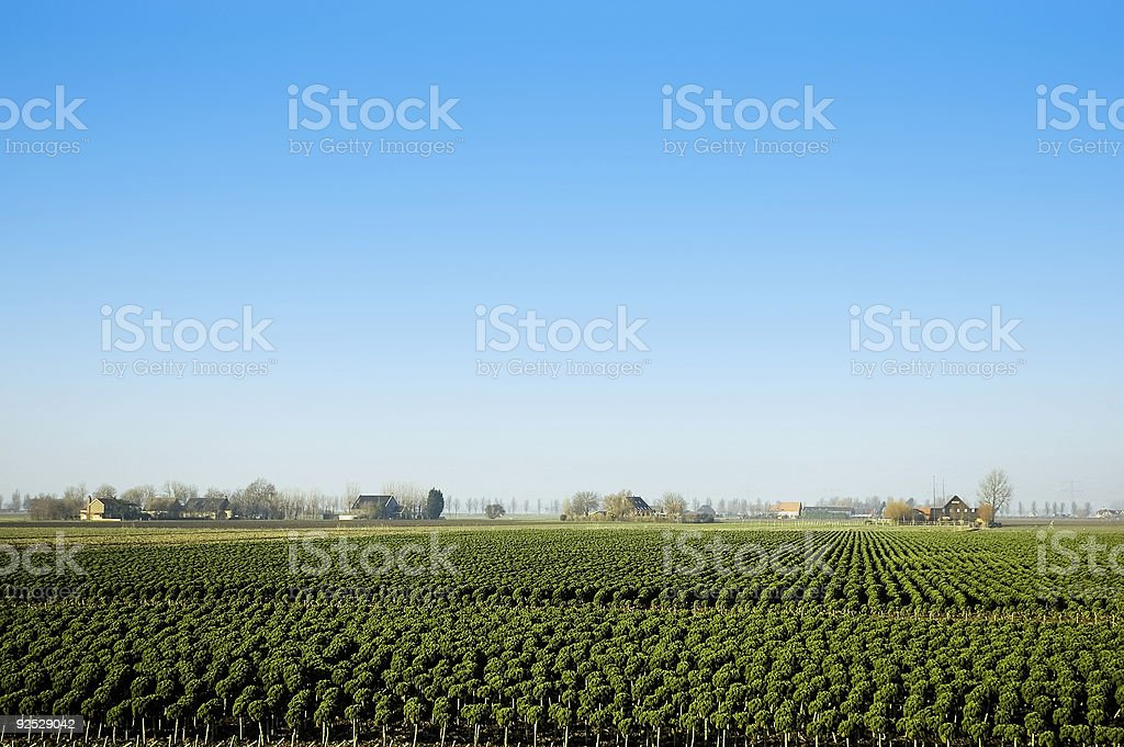 broccoli fields forever royalty-free stock photo