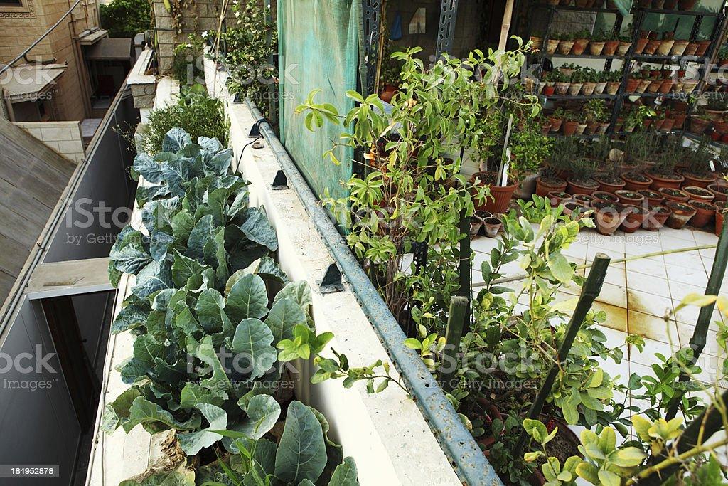 Broccoli in Urban Organic Vegetable and Herbs Garden over Balcon royalty-free stock photo