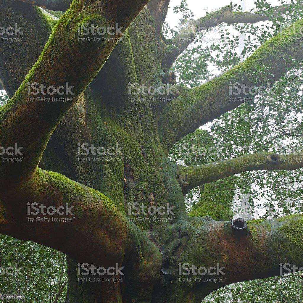 Broceliande Forest - Majestic Tree stock photo