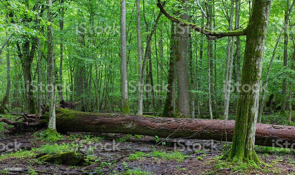 Broken ash tree branch moss wrapped stock photo