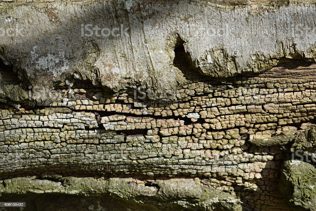 Broken bark, dried-out xylem stock photo