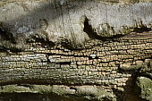 Broken bark, dried-out xylem