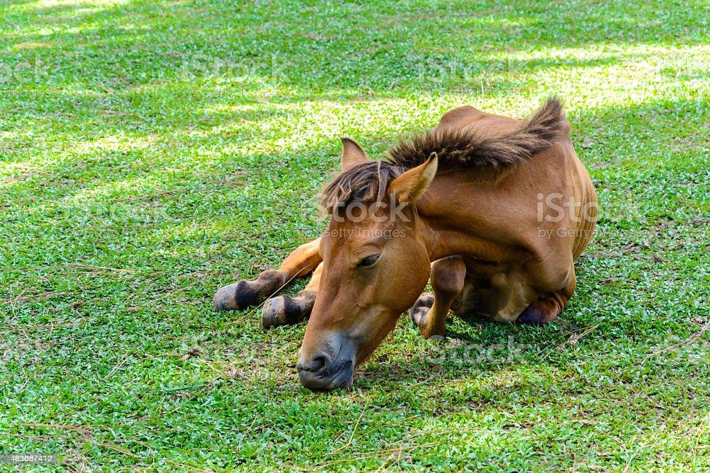 Broken leg horse eating grass in a farm stock photo