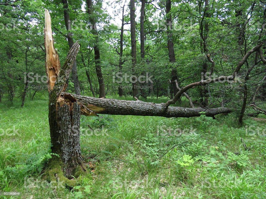 Broken oak stock photo