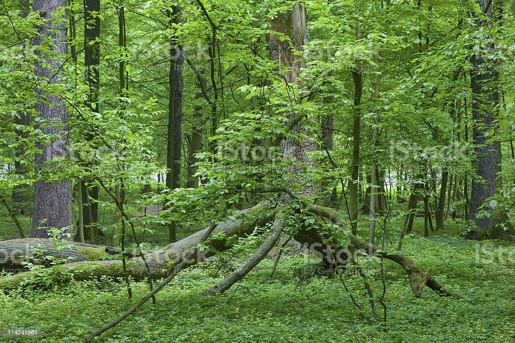 Broken oak tree branch lying royalty-free stock photo
