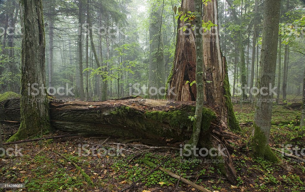 Broken old large oak and misty stand in background stock photo