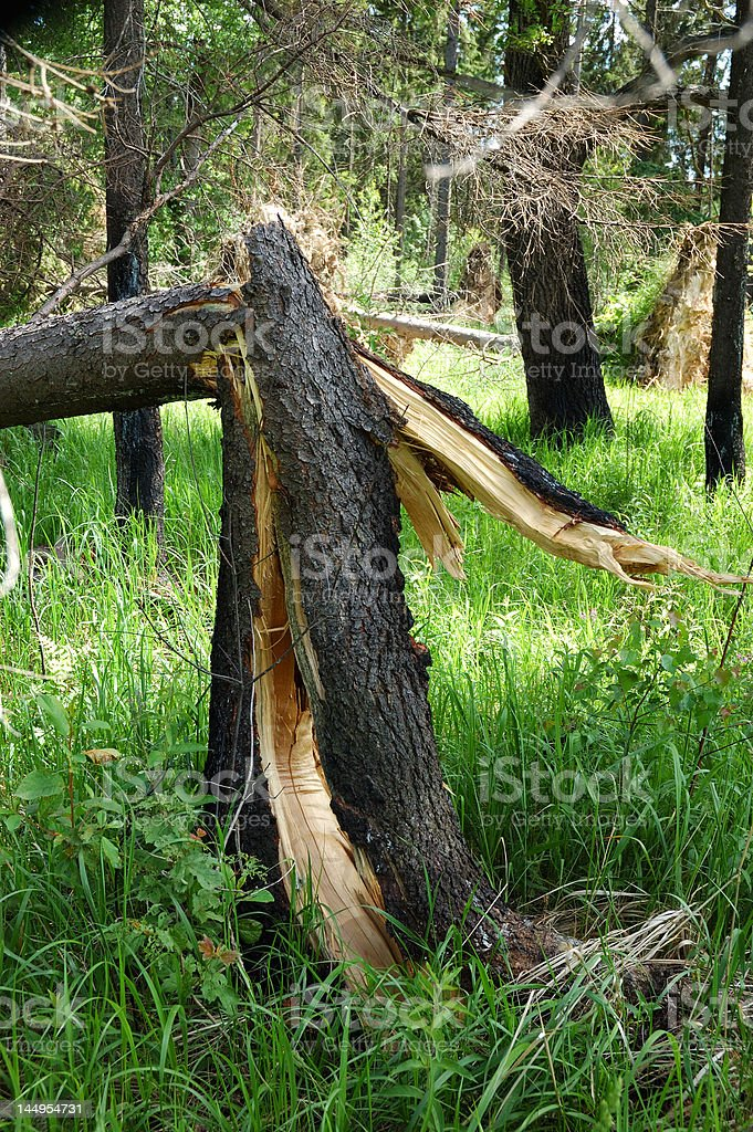 Broken pine tree after storm stock photo