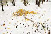 broken tree branch with leaves lying on the snow-covered ground