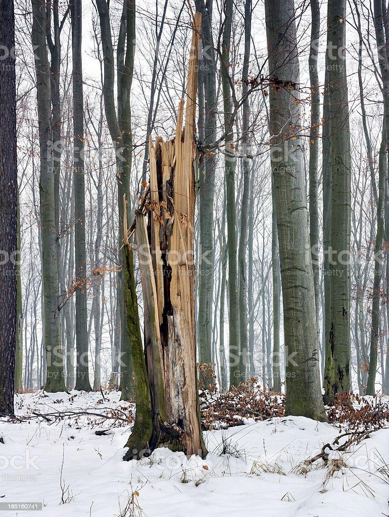 broken tree royalty-free stock photo
