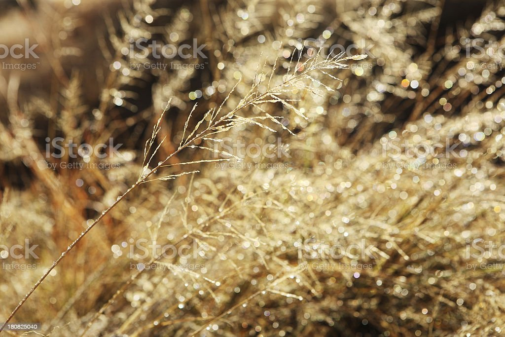 Bromegrass Silk Seed Ice Crystals royalty-free stock photo