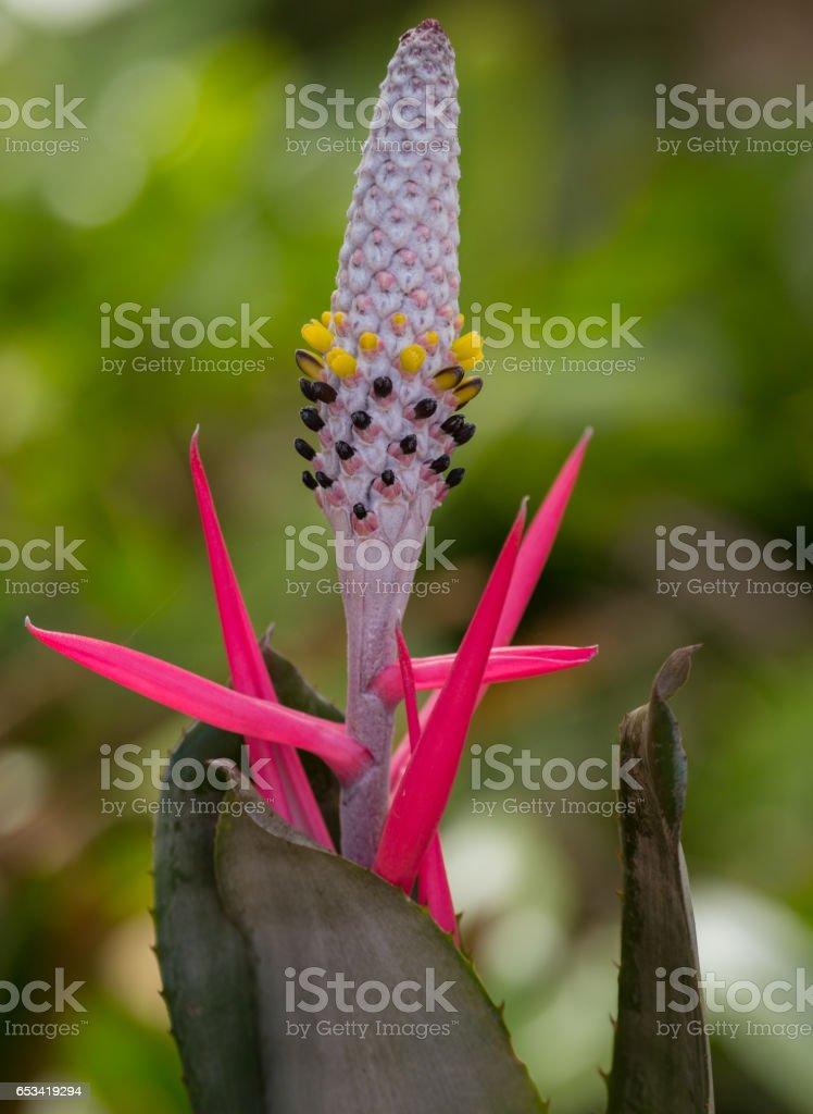 Bromeliaceae  bromeliad flower stock photo