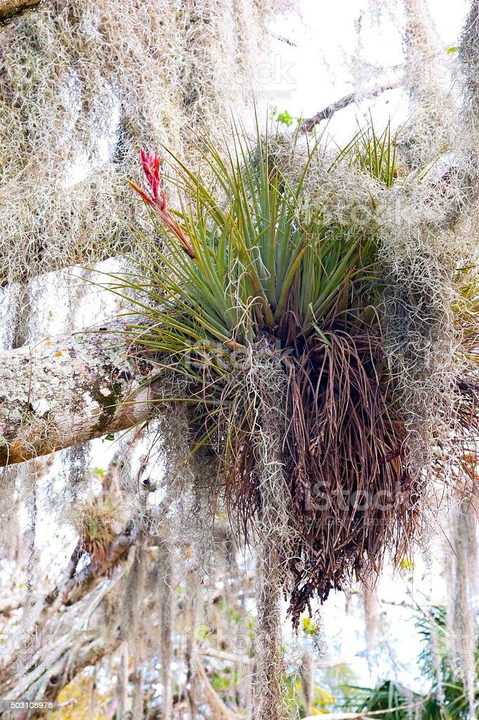 Bromeliad and Spanish Moss on a Cypress Tree stock photo