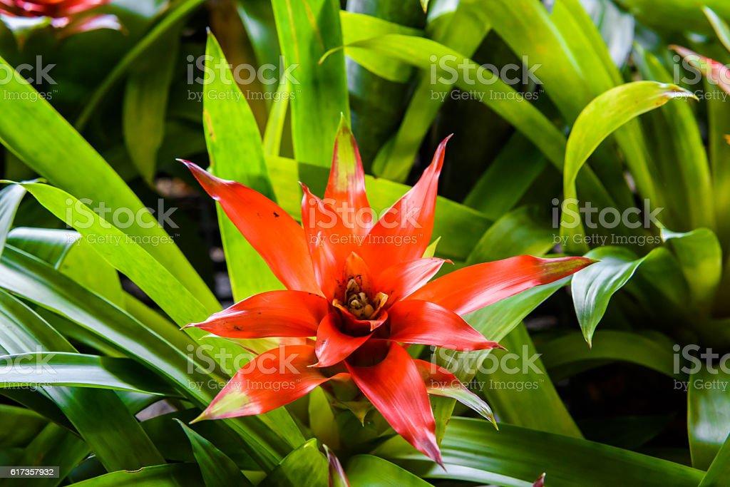 Bromeliad flower in garden stock photo