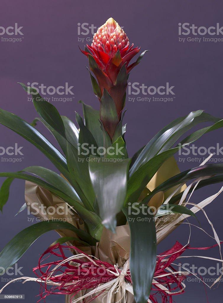 Bromeliad (Quesnelia testudo lindm.) for background use stock photo