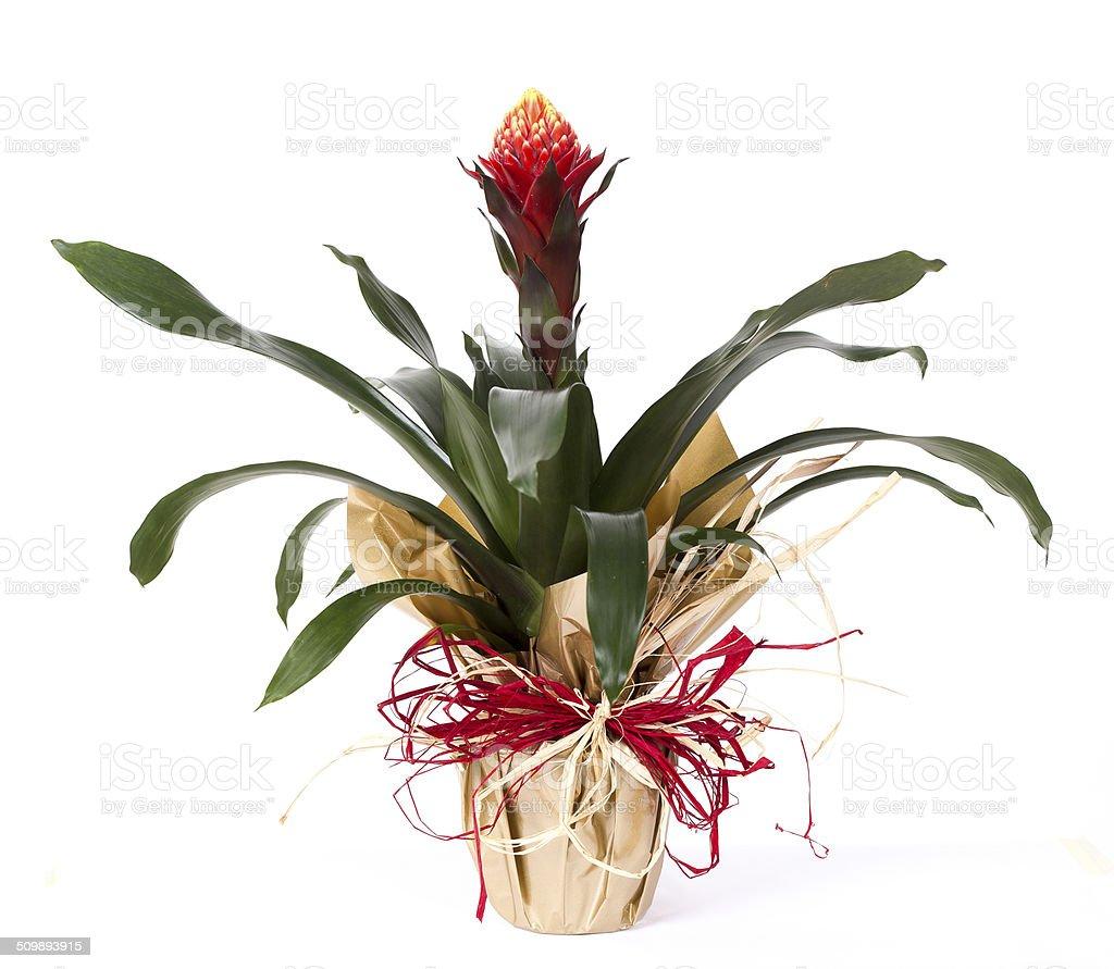 Bromeliad isolated on white background stock photo