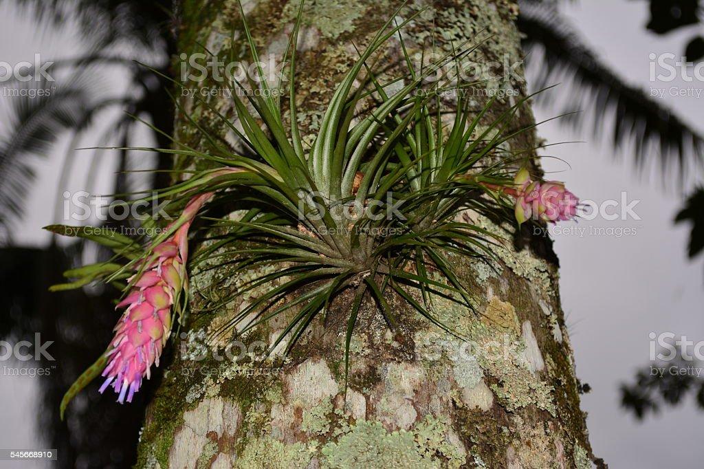 Bromeliad pink stock photo