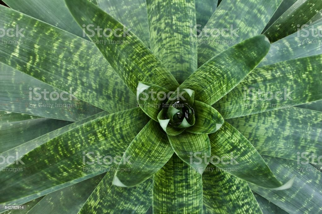Bromeliad Plant (bromelia) Background stock photo