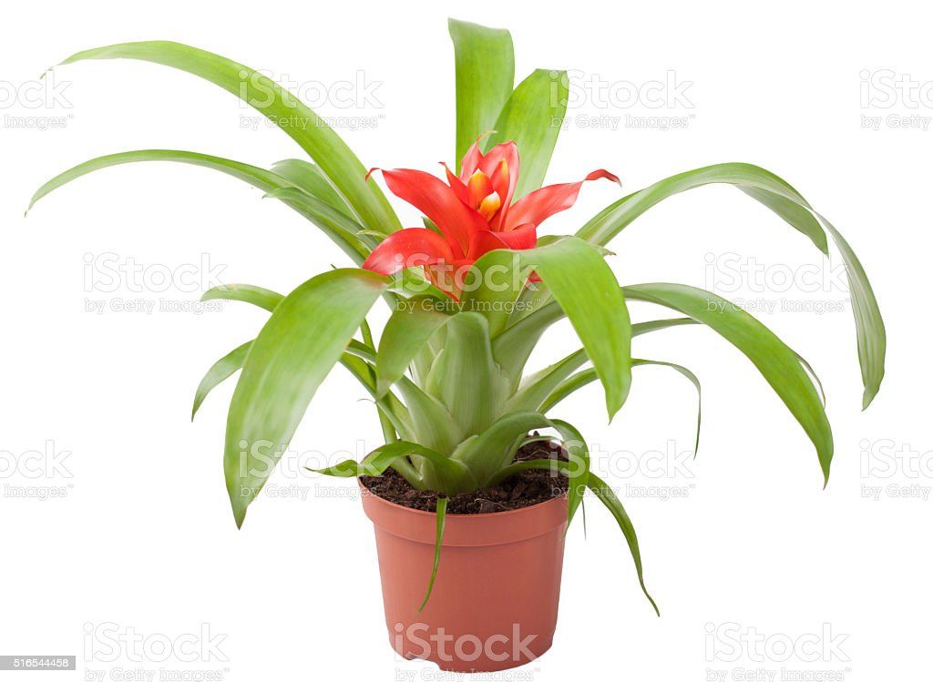 Bromeliad plant stock photo